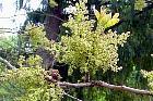 Flowering Ash, flower
