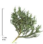 Common Juniper, scales