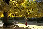 Ginkgo, Maidenhair Tree, landscape