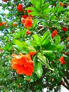 Double-flowered Pomegranate, flower