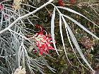 Pincushion Bush, flower