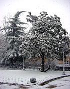 Deodar Cedar, snowy landscape