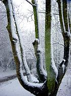 European Ash, snowy landscape