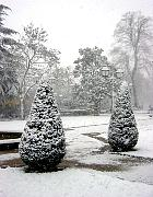 English Yew, Common Yew, snowy landscape