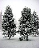 California Incense-cedar, snowy landscape