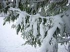 California Incense-cedar, snowy landscape