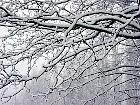 Horse Chestnut, snowy landscape