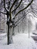 London Plane, Hybrid Plane, snowy landscape