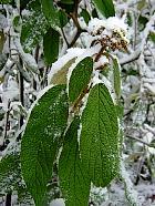 Viburnum leaf folded, snowy landscape