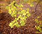 Beech, leaf