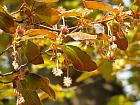 Beech, pictures