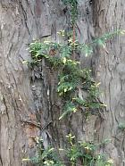 English Yew, Common Yew, bark