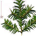 English Yew, Common Yew, flower