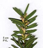 English Yew, Common Yew, flower
