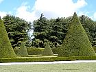 English Yew, Common Yew, outline