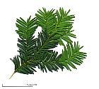 English Yew, Common Yew, needles