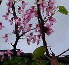Redbud, Tree Caramel, flower