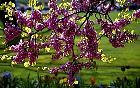 Redbud, Tree Caramel, flower