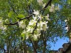 Judas tree with white flowers, flower