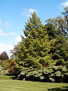 Katsura Tree, outline
