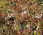 Kolkwitzia, flower