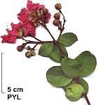 Crape myrtle, flower