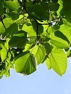 Lasiocarpa Poplar, leaf
