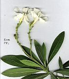 Oleander, leaf