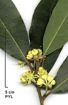 Bay Laurel, flower
