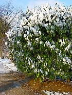 Bay Laurel, snowy landscape