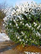 Bay Laurel, snowy landscape