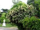 Portuguese Cherry Laurel, outline