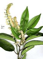 Portuguese Cherry Laurel, flower