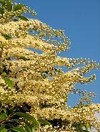 Portuguese Cherry Laurel, flower