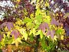 American Sweetgum, leaf