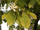 Umbrella magnolia, flower