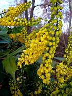Tall Oregon Grape, flower