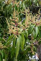 Common Mango, flower