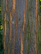 Chinaberry, bark