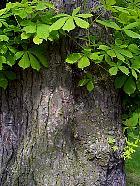 Horse Chestnut, bark