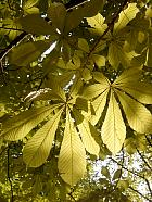 Horse Chestnut, leaf