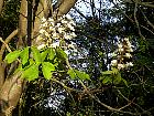 Horse Chestnut, flower