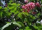 Red chestnut, flower
