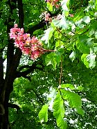 Red chestnut, flower