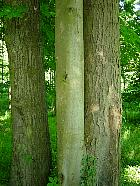 Horse Chestnut, trunk