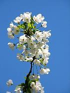 Gean, Wild cherry, Sweet cherry, flower