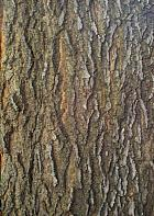 Common Hackberry, bark