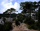 Swiss Mountain Pine, Mugo Pine, outline