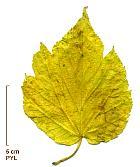 Kagayama Mulberry, leaf