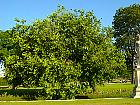 Black Mulberry, outline